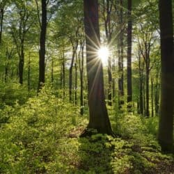 Vital-green-forest-in-spring-with-sun-and-sunbeams-Westerwald-Rhineland-Palati